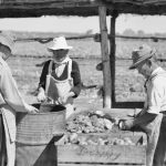 Japanese internees cutting up and preparing tomatoes for seed extraction at No. 14 Gardens, Loveday Internment Group. Photograph by Hedley Cullen. Before the war the United States of America supplied almost all of Australia's vegetable seed requirements, but their export ceased after Pearl Harbor. As part of a national program to meet the threat of a shortage a large area was set aside at Loveday for a farm and more than 46000 pounds weight of mainly tomato, bean, beetroot, lettuce and cabbage seed was made available to the Commonwealth Seed Committee for distribution. AWM 122940